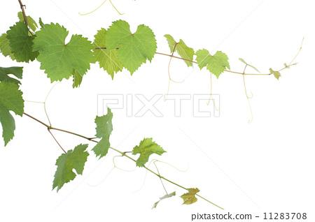 藤蔓 树叶 叶子