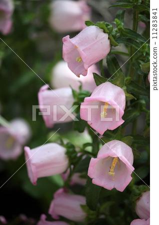 花朵 花 风铃草属植物