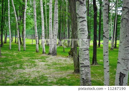 银桦树 阔叶树 绿色