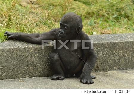 大猩猩 动物 低地大猩猩