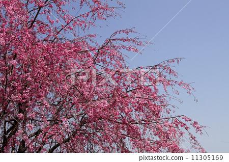 花朵 开花 树枝低垂的樱花树