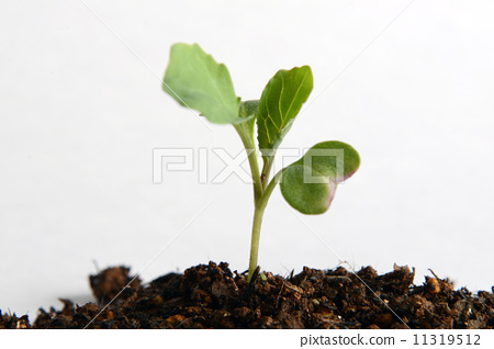 照片素材(图片): 白菜幼苗