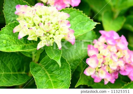 绣球花多久开花-我家的绣球花只长叶