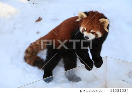 照片 工艺品 动物 动物 小熊猫 竹子  *pixta限定素材仅在pixta网站