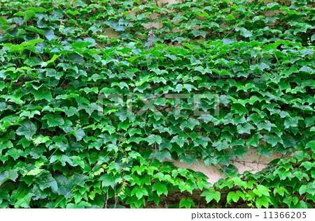 照片素材(图片): 常春藤 墙壁 墙