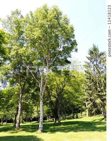 照片 质地 树 木纹 白桦 树 树木  *pixta限定素材仅在pixta网站,或pi
