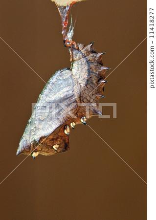 虫茧 蛹 节肢动物