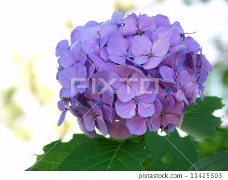 紫色 首页 照片 植物_花 绣球花 绣球花 绿色 紫色  *pixta限定素材仅