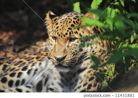 图库照片: 豹子 旭山动物园 濒危物种