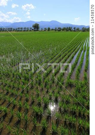 图库照片: 与稻田的风景