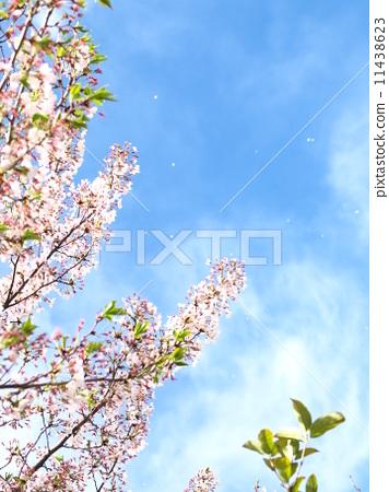 春天 春 樱桃树