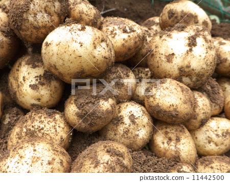 图库照片: 土豆 马铃薯 粘土图片