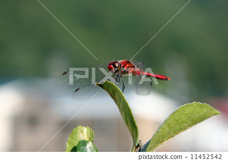 夏季茜草 节肢动物 昆虫