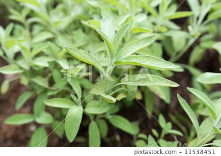 鼠尾草 药用植物 户外-图库照片