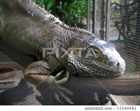 巨蜥 爬虫类的 爬行动物