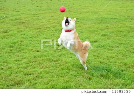 照片素材(图片): 奔跑的小狗 狗 柴犬