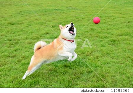 图库照片: 奔跑的小狗 柴犬 丛林犬