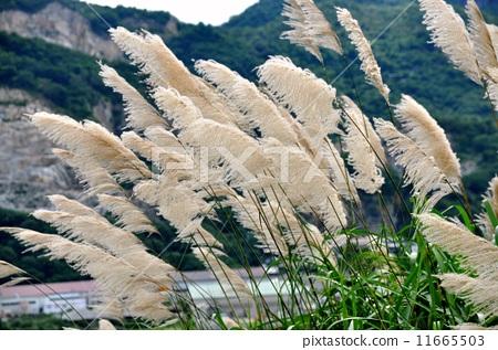 夏天 海岸 日本蒲苇