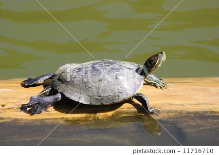 乌龟 日光浴 爬行动物