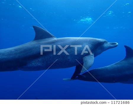 海豚 海 哺乳动物-图库照片 [11721686] - pixta