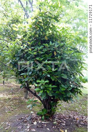 观叶植物 日本桂树 常青灌木 绿色背景  pixta限定素材      日本桂树