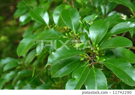 铁冬青 聚繖花序的花序 长青树