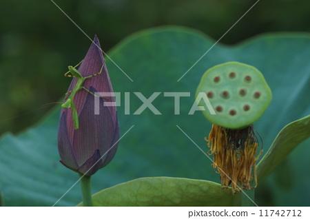 图库照片: 莲花 螳螂 可爱