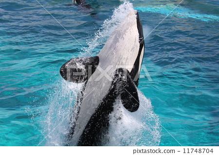 海洋动物 逆戟鲸 海洋生物