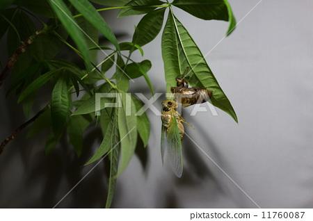 照片素材(图片): 昆虫出现 蝗虫 蝉
