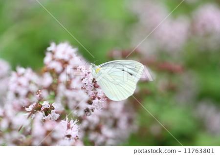 花朵 花卉 白菜白蝴蝶