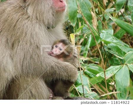 日本猕猴 父母和小孩 可爱