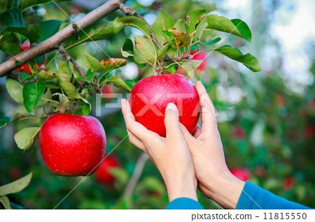 苹果树上 苹果 女人