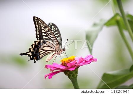 照片素材(图片): 蝴蝶 吸蜜 花蜜