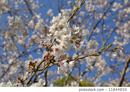樱桃树上能嫁接樱花吗