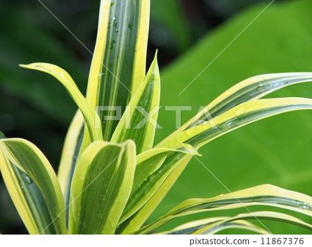 龙血树属植物 杂色地 温室