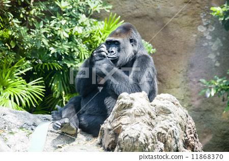 上野动物园 大猩猩 猴子