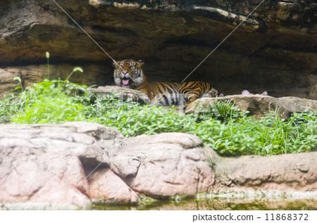 老虎 上野动物园 舌头