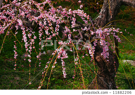 图库照片: 树枝低垂的李树 梅花 3月