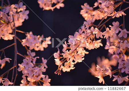花朵 开花 夜晚的樱花树
