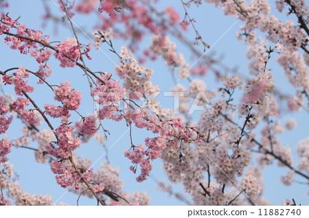 盛开 树枝低垂的樱花树 船队