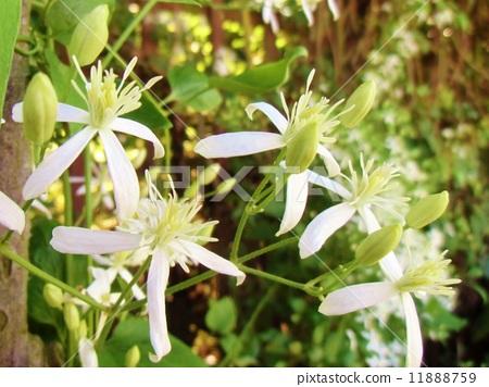 图库照片: 白色鲜花 东北铁线莲