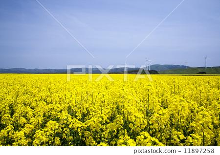 照片: 风能 西兰花田 清洁能源