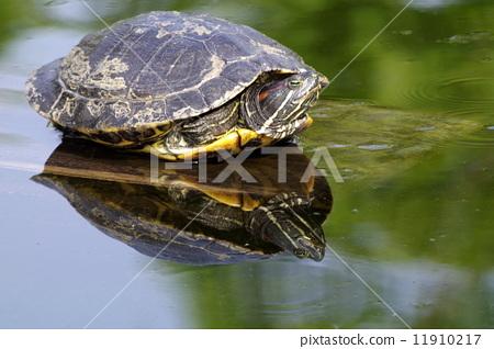 图库照片: 甲壳 乌龟 爬行动物