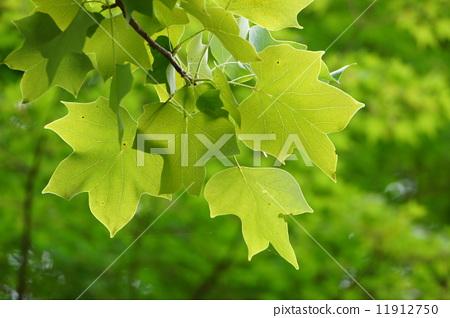 树叶 百合树 叶子
