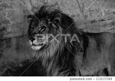 壁纸 动物 狮子 桌面 450