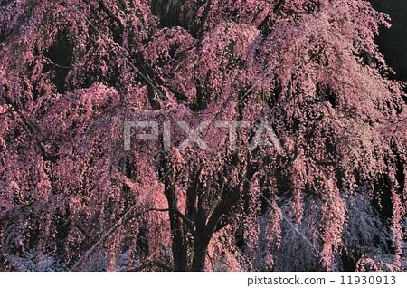 树枝低垂的樱花树 清晨