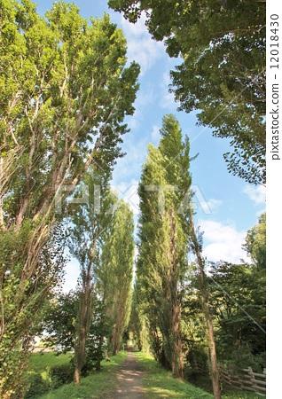 一排树 一排杨树 白杨
