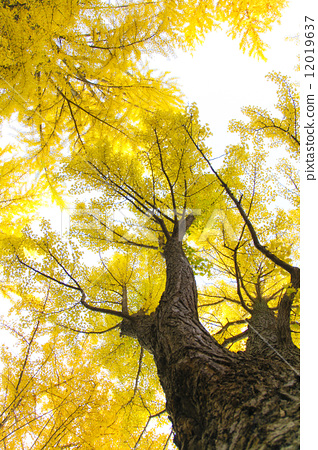 壁纸 银杏 银杏树 银杏叶 318_450 竖版 竖屏 手机