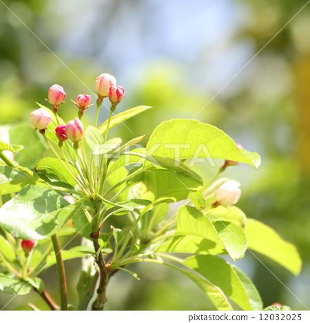 三叶枫树盆景造型