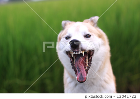 狗 打哈欠 面部表情